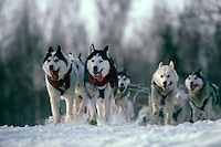 Sled dogs on Iditarod trail Alaska