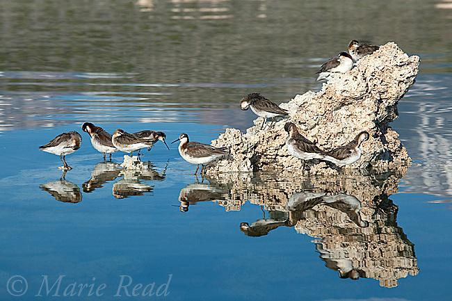 Wilson's Phalaropes (Phalaropus tricolor), flock resting and preening on partly-submerged tufa formation Mono Lake, California, USA