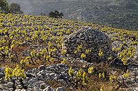 Croatie/Dalmatie/Primosten: Le vignoble - rangs de vigne et construction en pierre