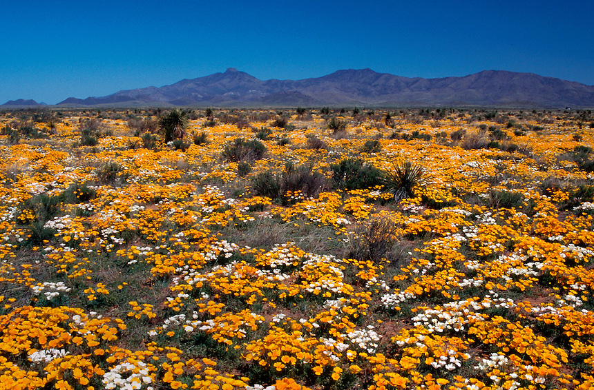 A desert landscape blanketed with Mexican Gold Poppy (Eschscholtzia mexicana - Papaveraceae)wildflowers blooming in spring, with Dos Cabezas Mountains in the background. Arizona.