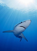 WQ1158-Dvm. The Blue Shark (Prionace glauca) is found throughout tropical and temperate seas worldwide, primarily in the open ocean, from the surface to over 700 feet deep. It grows to over 12 feet long and feeds on squid, schooling bony fish like anchovies and sardines, and also on krill. Large eyes, long pectoral fins, long pointed nose, sleek body and metallic blue to silver gray skin color help to identify it. Azores, Portugal, Atlantic Ocean. Cropped to vertical from native horizontal format.<br /> Photo Copyright © Brandon Cole. All rights reserved worldwide.  www.brandoncole.com