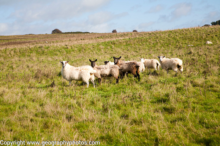Sheep grazing on Fyfield Down national nature reserve, Marlborough Downs, Wiltshire, England, UK one of the country's oldest s created in 1955 of unimproved chalk grassland with sarsen stones in dry valleys