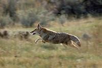 Coyote (Canis latrans) running.