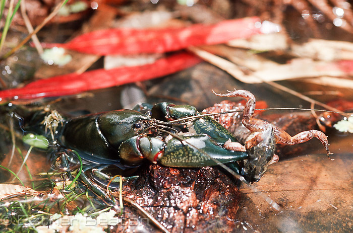 Yabbie (Cherax destructor) catching Spotted Marsh Frog, among fallen eucalypt leaves in small pond, Gundagai area, NSW