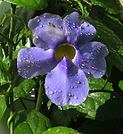 A flower blooms after a Jamaican rain shower. (DOUG WOJCIK MEDIA)