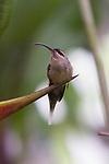 Long-billed Hermit Hummingbird