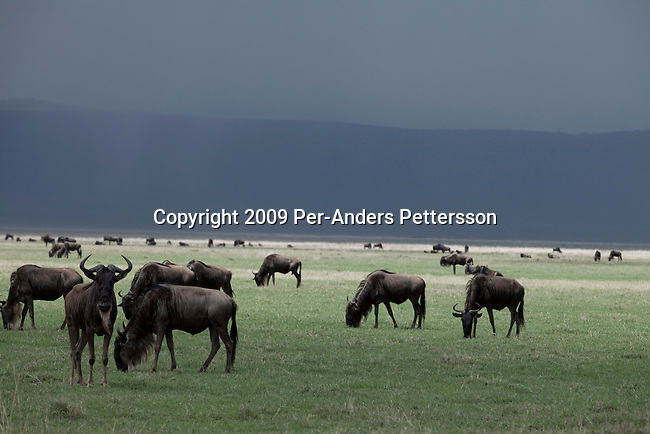 NGORONGORO CRATER, TANZANIA - NOVEMBER 16: Wildebeest graze on the bottom of the Crater on November 16, 2009 in Ngorongoro Conservation Area, Tanzania. Land in the conservation area is multi-use; it is unique in Tanzania as the only conservation area providing protection status for wildlife whilst allowing human habitation. The annual ungulate migration passes through the crater, with wildebeest and zebra moving south into the area in December and moving north in June. Hundreds of thousands of tourists visit the park every year. (Photo by Per-Anders Pettersson)...