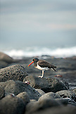 GALAPAGOS ISLANDS, ECUADOR, a shore bird hangs out on a rock near the water on Fernandina Island