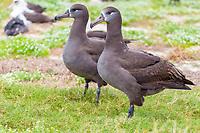 bird, black-footed albatross, or black footed albatross, Phoebastria nigripes, Midway Island, Northwest Hawaiian Islands, NorthwesternHI, Papahanaumokuakea Marine National Monument, Hawaii, Pacific Ocean
