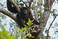 Guatemalan howler monkey or Black Howler Monkey (Alouatta pigra), Belize. Howling.