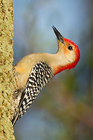 Red-bellied Woodpecker (Melanerpes carolinus).