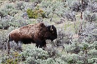 Bison in the Sage Brush