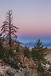 Twilight settles over the Eastern Sierras with blue & pink glows. Pine trees on a slope frames the foreground.