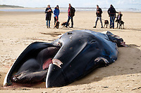 Holkham Fin Whale Stranding