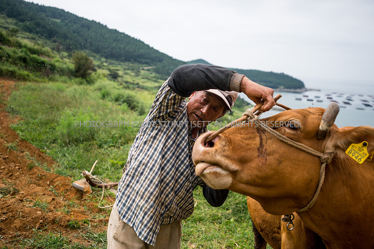 9/11/13 -- Cheongsando Island, Jeonnam Province (Jeollanam-do), South Korea<br /> <br /> A farmer, Mr. Choi Byung Chun, still using a cow in Goodlejang rice paddies on Cheongsando Island<br /> <br /> Photograph by Stuart Isett<br /> &copy;2013 Stuart Isett. All rights reserved.