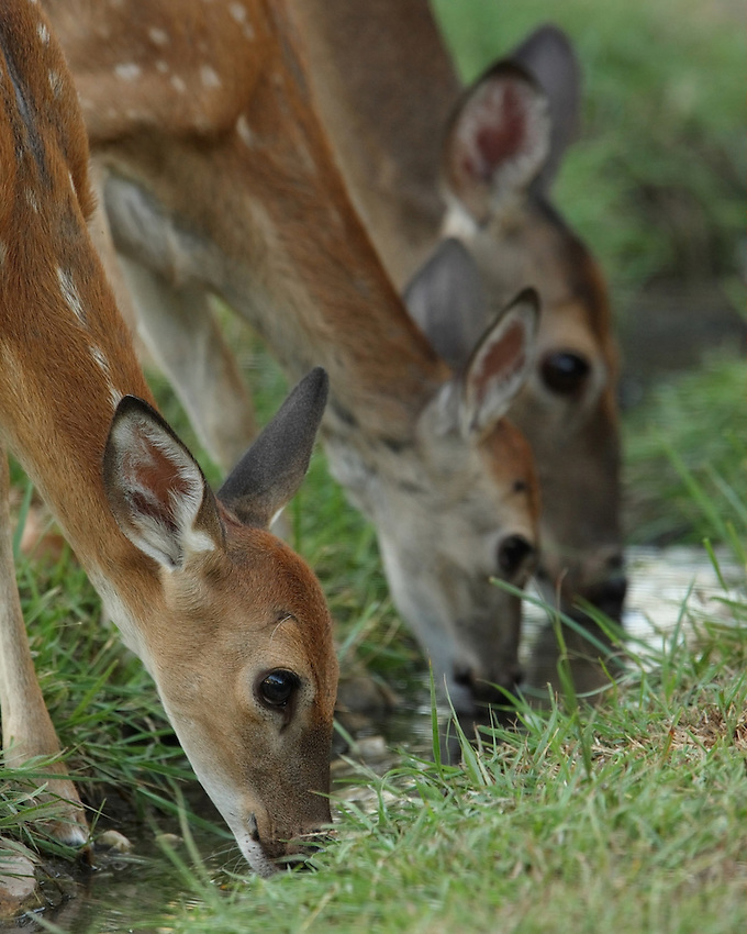 Two whitetail fawns with mom getting a drink. Shot late summer evening in the Hill Country of Central Texas.