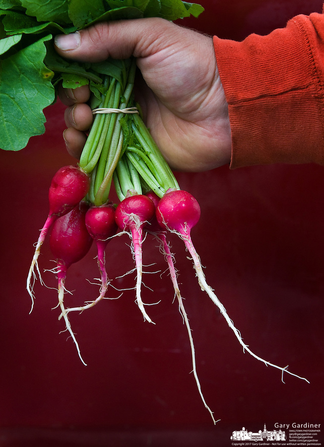 A farmer holds a bundle of radishes he sells at a farmers market in a Midwestern town.  Photo Copyright Gary Gardiner. Not be used without written permission detailing exact usage.