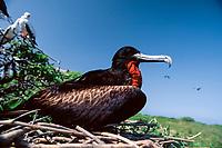 Great Frigatebird, Fregata minor, adult male on nest at Green Island, Kure Atoll, Papahanaumokuakea Marine National Monument, Northwestern Hawaiian Islands, Hawaii, USA, Pacific Ocean