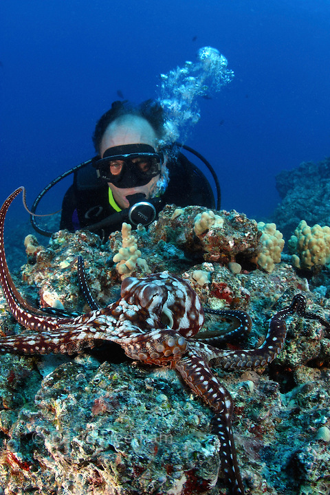 Cautious and curious at the same time, this day octopus, Octopus cyanea, keeps a close eye on the diver (MR).  Hawaii.