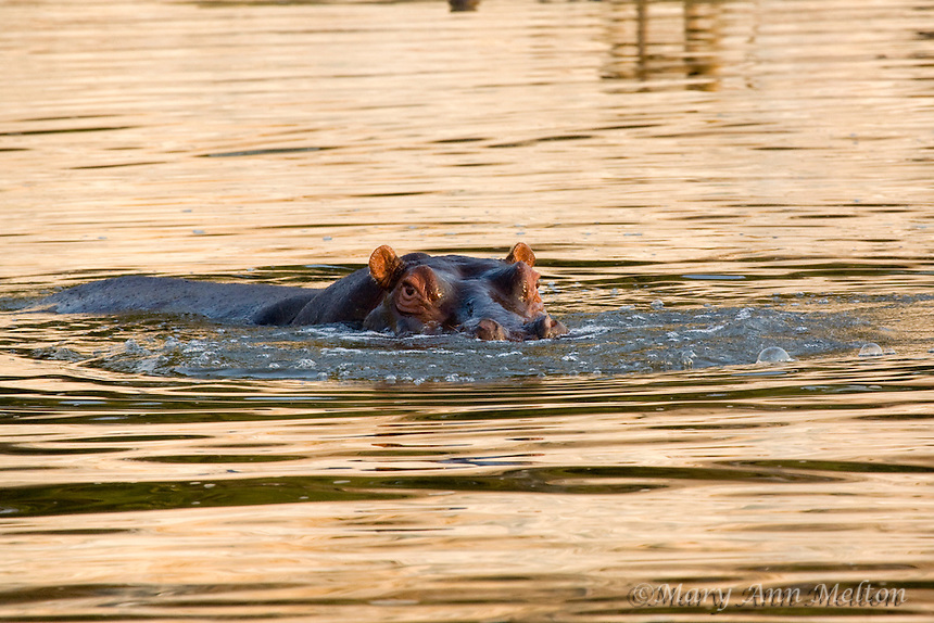 Hippopotamus, Hippopotamus amphibius, Chobe River