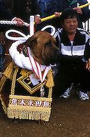 Mr Fujino with champion fighter or Yokozuma, called  Gen, is awarded and honored after the dog fight in Nagasaki, Japan. The decorative silk rope and armor is worth in the region of 30,000 US$..Gen now at the end of his career will now retire and be used for stud..