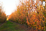 Autumn Orchard - Autumnal leaves on trees at an apple orchard, Donnybrook, Western Australia