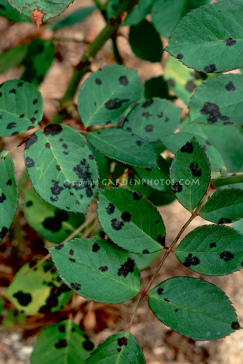 Black spot on Roses (Blackspot Fungal Disease on leaves) caused by Diplocarpon rosae