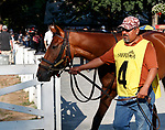 Gunslinger enters the paddock as Opry (no. 8) wins the With Anticipation  Stakes (Grade 3), Aug. 29, 2018 at the Saratoga Race Course, Saratoga Springs, NY.  Ridden by  Javier Castellano, and trained by Todd Pletcher, Opry finished 1 1/2 lengths in front of Somelikeithotbrown (No. 7).  (Bruce Dudek/Eclipse Sportswire)
