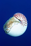 Milne Bay, Papua New Guinea; Chambered Nautilus, (Nautilus pompilius), to 20 cm (8 in.), live along deep slopes of coral reefs to 2000 meters, found in Philippines, south through Indonesia to Australia and east to Fiji Islands , Copyright © Matthew Meier, matthewmeierphoto.com