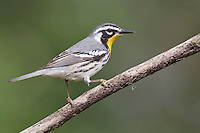 Yellow-throated Warbler - Setophaga dominica