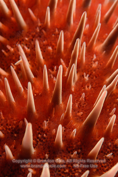 TW72152-D. Crown-of-Thorns Sea Star (Acanthaster planci), close-up detail of spines. Toxin from spines can inflict painful wound. This large star (up to 40cm diameter) has 12-19 arms and feeds on corals. Outbreaks of this starfish can devastate reefs. Baja, Mexico, Sea of Cortez, Pacific Ocean.<br /> Photo Copyright &copy; Brandon Cole. All rights reserved worldwide.  www.brandoncole.com