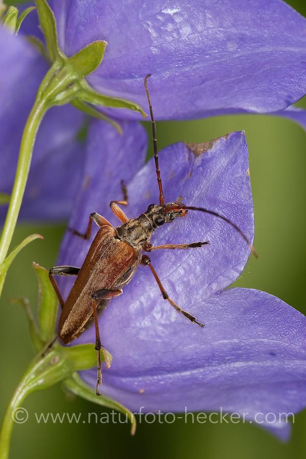 Variabler Stubbenbock, Bockkäfer auf Glockenblume im Garten, Stenocorus meridianus, Variable longhorn, Variable Longhorn Beetle