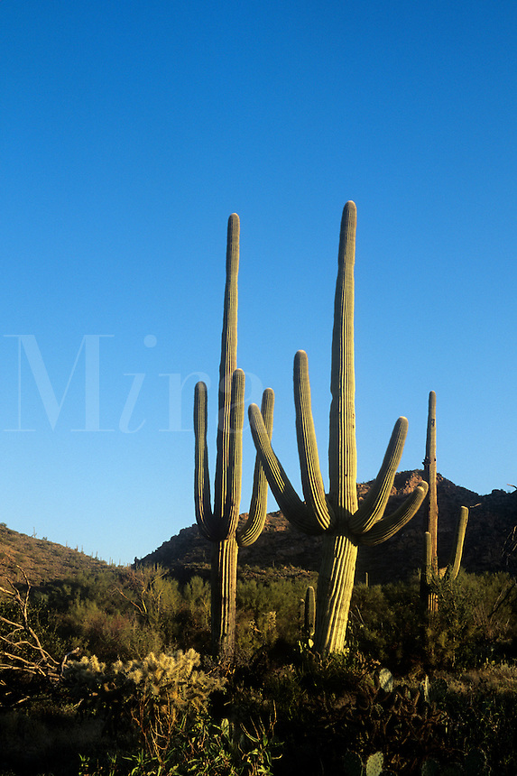 Saguaro cactus at Saguaro National Monument Tucson Arizona