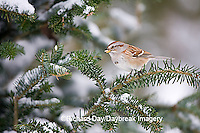 01588-008.19 American Tree Sparrow (Spizella arborea) in Balsam fir tree in winter, Marion Co. IL