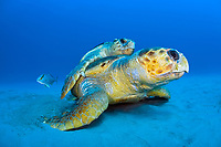 Mating Loggerhead Sea Turtles (Caretta caretta) offshore Palm Beach, FL. Florida is home to half the world's population of Loggerheads, and Palm Beach County a major nesting area.