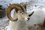 SHEEP; dall sheep