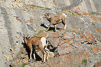 Baby big horn sheep getting up from a nap high in the cliffs at Jasper National Park Alberta Canada