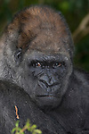 Western Lowland Gorilla, male (Captive, Monkey Jungle)