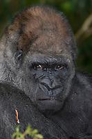Western Lowland Gorilla, male (Captive, Monkey Jungle)