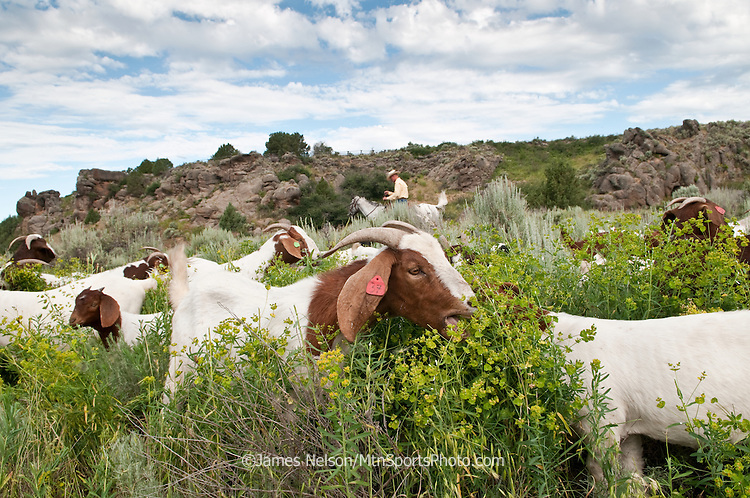 Mark Harbaugh, Patagonia fly fishing representative and goat rancher, rides herd on his chemical-free noxous weed control crew grazing on a patch of leafy spurge in east Idaho.