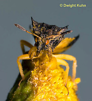 AM01-680z  Ambush Bug male close-up of face, tansey flowers, Phymata americana