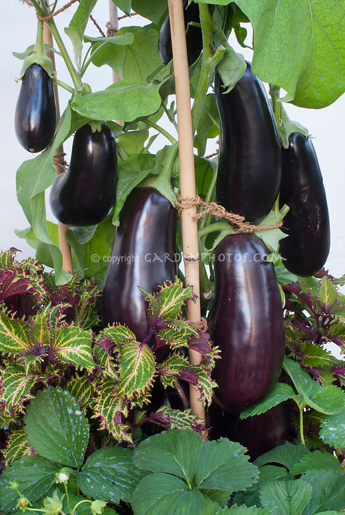 effectiveness of eggplant extract and g Ethanol extract of eggplant (solanum melongena) stalks in  possesses excellent therapeutic effects on warts, burns, and many  at 50°c to give a 24 g of .