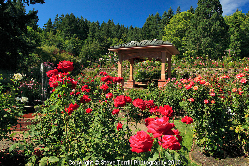 Portland International Rose Test Gardens in Washington Park in Portland, Oregon