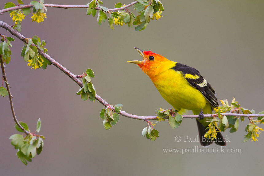 A Western Tanager pauses on a Ponderosa Pine between hunting flights.