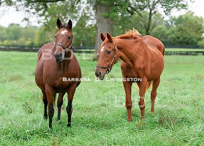 Chateaucreek produced Epsom Derby winner Henbit.  Her daughter Chateaubaby (left) is dam of multiple Grade 3 winner Fantastic Fellow.  Mineola Farm, 2002