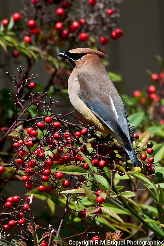 Cedar Waxwing preparing to eat Nandina berries.