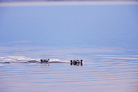 Polar Bears--sow with cub--swimming in Arctic Ocean off the north coast of Alaska along the Arctic National Wildlife Refuge.  Sept.