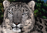 654409061 portrait of an adult snow leopard panthera uncia - individual is a wildlife rescue - species is native to the high steppes of central asia
