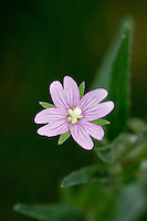 SQUARE-STALKED WILLOWHERB Epilobium tetragonum (Onograceae) Height to 1m. Upright, downy perennial with 4-ridged stems (sometimes winged). Found in damp woods and on riverbanks. FLOWERS are 6-8mm across (upright in bud) with pink petals and a club-shaped stigma (Jul-Aug). FRUITS are pods (6-10cm long) that contain cottony seeds. LEAVES are narrow and finely toothed. STATUS-Common only in England and Wales.