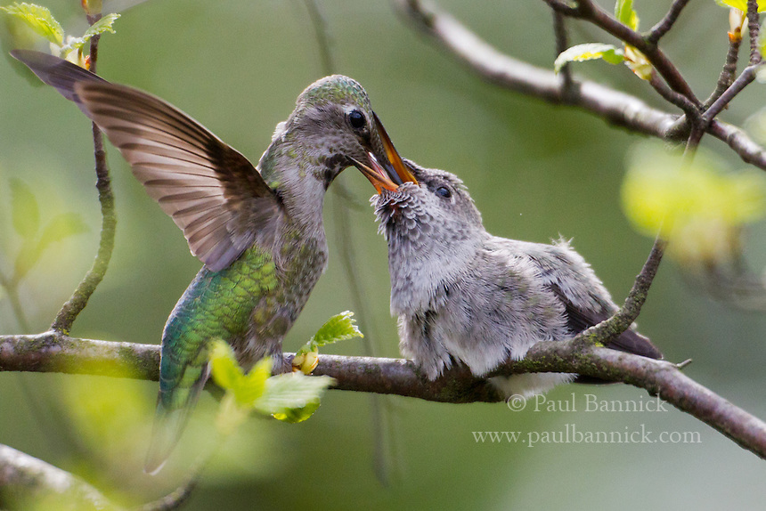 A mother Anna's Hummingbird feeds her recently fledged chick.